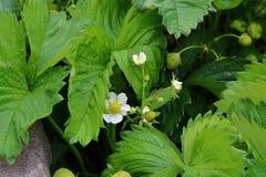 草莓叶子和花 免版税库存图片