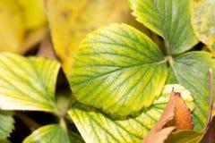 草莓叶子秋天背景  图库摄影
