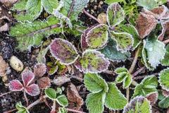草莓叶子细节有树冰的 库存图片