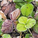 草莓叶子细节有树冰的 免版税图库摄影