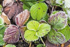草莓叶子细节有树冰的 库存照片