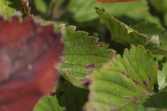 草莓叶子 免版税库存照片