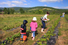 草莓周年纪念节日弗吉尼亚 库存图片