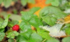 草莓和冰 免版税库存照片