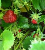 草莓和叶子成长  免版税库存照片
