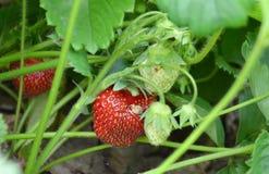 草莓和叶子成长  免版税库存图片