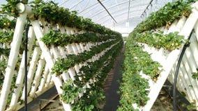 草莓在一个水耕的农场 免版税库存照片