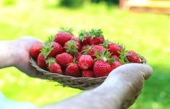 草莓在他的被伸出的手上 免版税库存图片