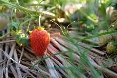 草莓在农场 免版税库存图片
