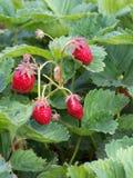 草莓在夏天在庭院床上 免版税库存图片