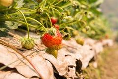 草莓在庭院里 库存照片