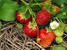 草莓在庭院里 免版税图库摄影