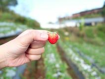 草莓在手边在草莓农场,草莓农场在泰国 免版税库存照片