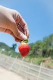 草莓在手边 免版税库存图片