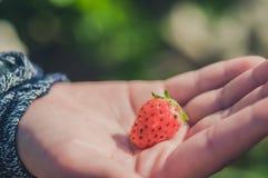 草莓在手边 库存图片