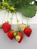 草莓在日本 免版税库存照片