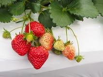 草莓在日本 库存图片