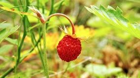 草莓在用自然装饰的森林里 库存图片