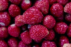 草莓在祖母的庭院里在夏天 免版税库存照片