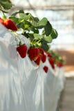 草莓墙壁 免版税库存图片