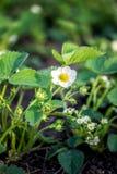 草莓外面花植物 免版税库存照片