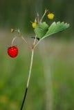 草莓属草莓vesca森林地 免版税库存照片