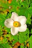 草莓属vesca白花背景和墙纸在顶面优质印刷品 库存图片