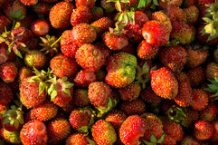 草莓庄稼 免版税图库摄影