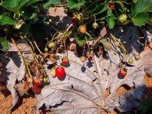草莓庭院 图库摄影