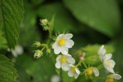 草莓开花雨珠室外植物的自然 库存图片