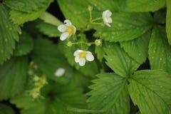 草莓开花雨珠室外植物的自然 免版税库存图片