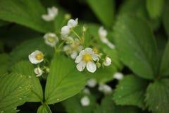 草莓开花雨珠室外植物的自然 图库摄影