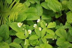 草莓开花雨珠室外植物的自然 免版税库存照片
