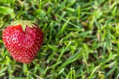 草莓接近在绿草背景  免版税图库摄影
