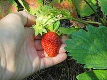 草莓收割期 库存图片