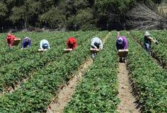草莓收获在中央加利福尼亚 免版税库存照片