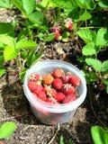 草莓收获在庭院床上的碗收集了 图库摄影