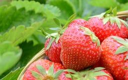 草莓收获在庭院里 图库摄影