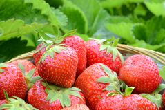 草莓收获 图库摄影