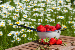 草莓新鲜从庭院 图库摄影