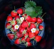 草莓有黑背景 库存图片