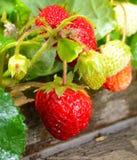 草莓木材 免版税库存图片