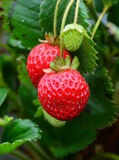 草莓束 库存图片