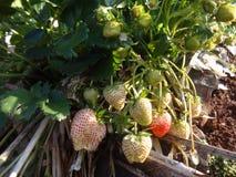 草莓树和年轻草莓和干燥叶子在草莓种田 室外照片 果子 库存照片