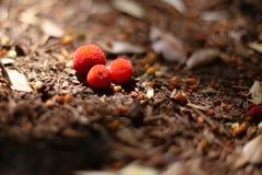 从草莓树或杨梅unedo的莓果 免版税库存图片