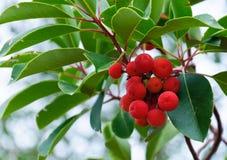 草莓树的果子 免版税库存照片