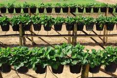 草莓树罐行  库存图片
