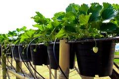 草莓树行在黑塑料树罐的 免版税库存图片