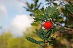 草莓树,藤茎苹果(杨梅unedo) 免版税库存图片