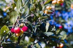草莓树(杨梅unedo) 免版税库存图片